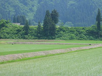 今日も魚沼産コシヒカリの田んぼは暑いです