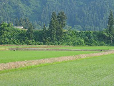 魚沼産コシヒカリの田んぼは夏本番の暑さでした