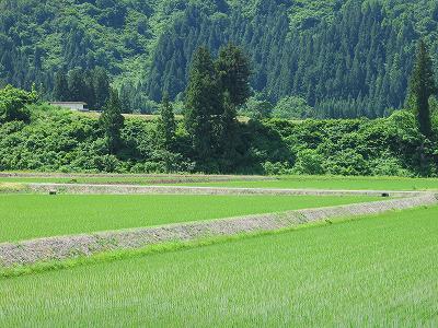 爽やかな初夏の魚沼産コシヒカリの田んぼの風景
