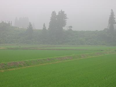 梅雨本番の魚沼産コシヒカリの田んぼ