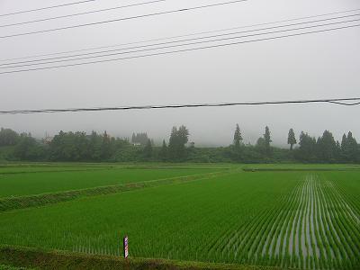 魚沼産コシヒカリの田んぼでは雨降りの日が続き、ジメジメしています