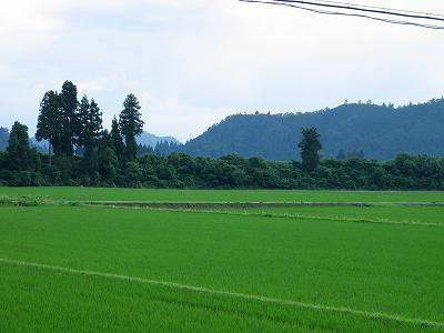 6月末日の魚沼産コシヒカリの田んぼ