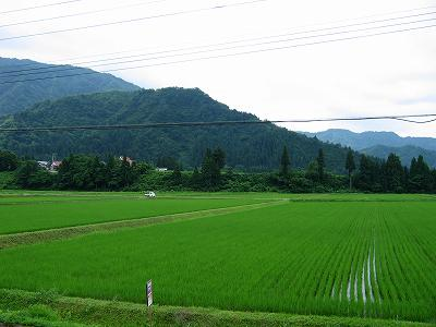 くもりで涼しい朝です@魚沼産コシヒカリの田んぼ