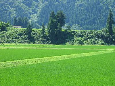 魚沼産コシヒカリの田んぼはいよいよ夏本番です
