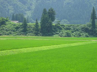 相変わらず暑い日が続いています@魚沼産コシヒカリの田んぼ
