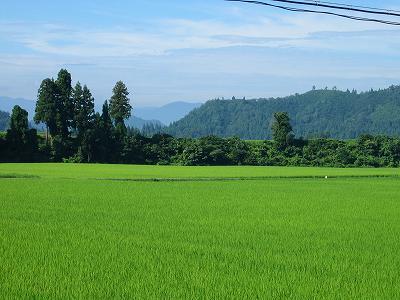 今日は朝から暑いです@魚沼産コシヒカリの田んぼ