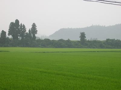 今日は朝から雨降りです@魚沼産コシヒカリの田んぼ