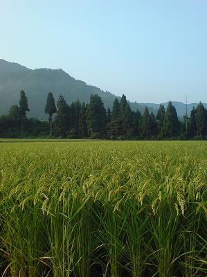 今朝は雨上がりで昨日までに比べて涼しいです@魚沼産コシヒカリの田んぼ