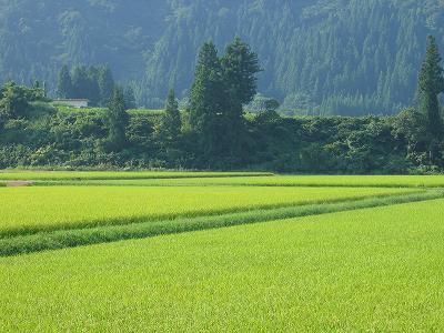 8月末日もまだまだ暑さが続いています@魚沼産コシヒカリの田んぼ