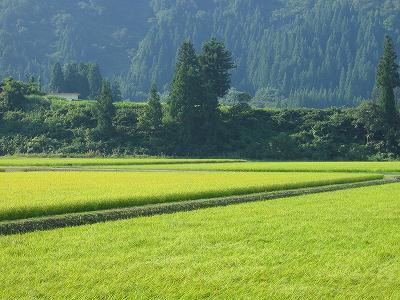今日は久しぶりに雨が降りそうです@魚沼産コシヒカリの田んぼ