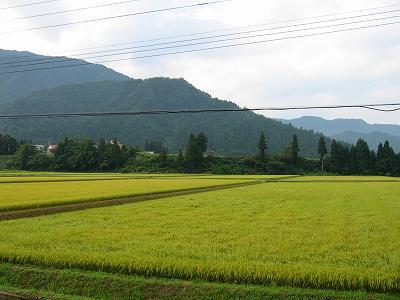 今朝はくもりで涼しいです@魚沼産コシヒカリの田んぼ