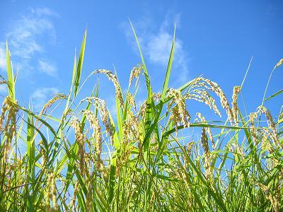 田んぼでは稲穂がすっかり頭を垂れてきています
