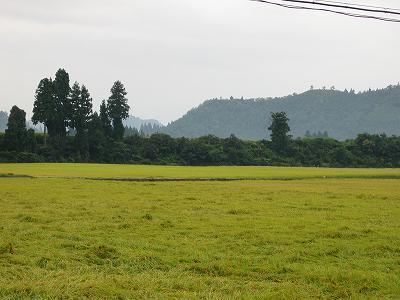 今朝の魚沼産コシヒカリの田んぼは雨です
