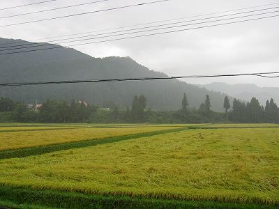 また雨が降り始めました@魚沼産コシヒカリの田んぼ