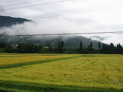 今朝もまた雨が降りました@魚沼産コシヒカリの田んぼ