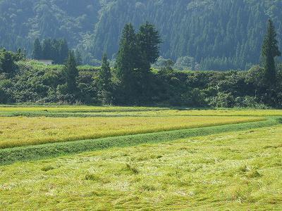 今日は晴れていい天気・・・稲刈りが始まりました@魚沼産コシヒカリの田んぼ