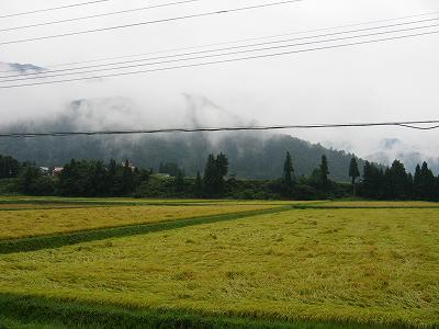 予報が外れて朝から本降りの雨@魚沼産コシヒカリの田んぼ
