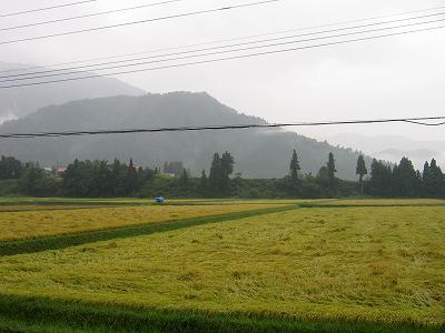 今週は雨の日が多く、魚沼産コシヒカリの稲刈りが遅れそうです
