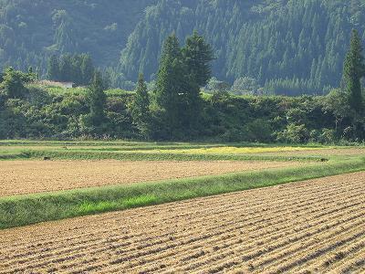 今朝の魚沼産コシヒカリの田んぼは雨上がりのひんやりとした朝です