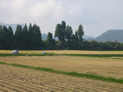 コンバインが何台か動いていますので、今日で稲刈りは終わりそうです