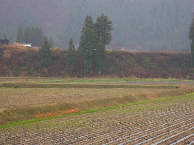 冷たい雨が降っています@魚沼産コシヒカリの田んぼ