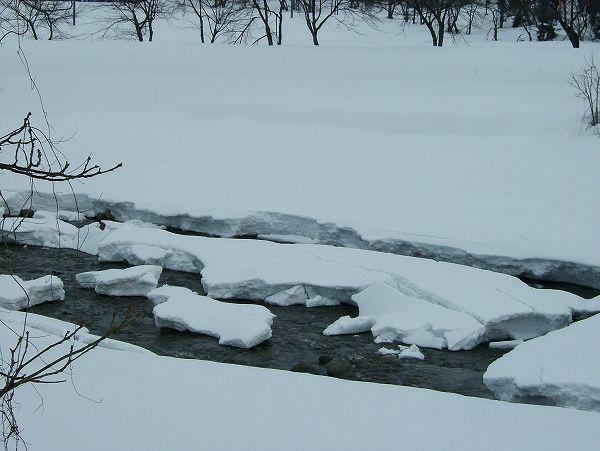 春のような陽気で水無川を覆っていた雪が解けてきました