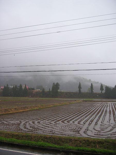 強い雨が降っています@魚沼産コシヒカリの田んぼ