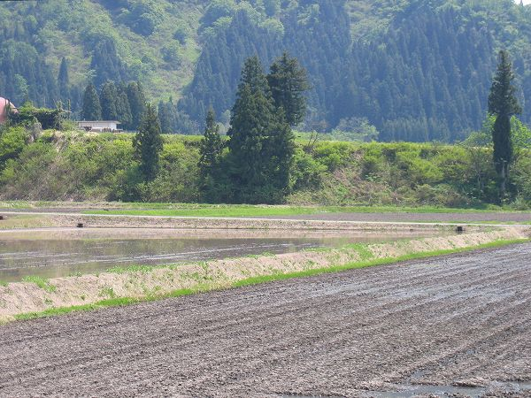 農作業日和の魚沼産コシヒカリの田んぼ