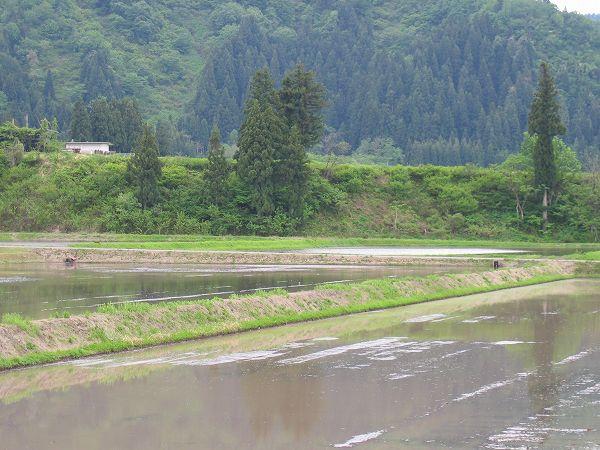 魚沼産コシヒカリの田んぼはくもりで肌寒いです