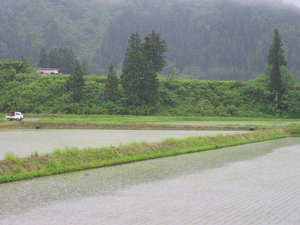 魚沼産コシヒカリの田んぼは朝からずっと雨降り