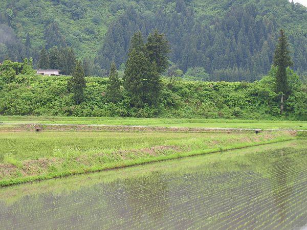 魚沼産コシヒカリの田んぼは雨でちょっと肌寒く感じます
