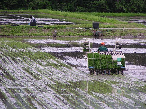 田んぼでは田植え作業が行われています