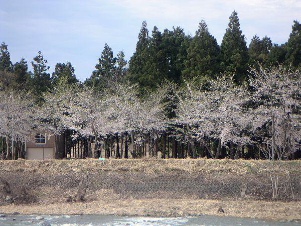 満開の桜がかなり散ってしまいました