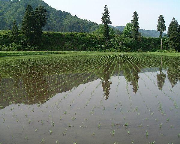 田植えが終わった魚沼産コシヒカリの田んぼ