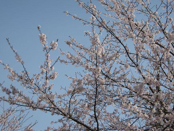 桜がいよいよ満開になろうとしています@魚沼産コシヒカリの田んぼ