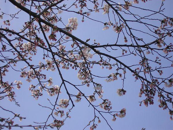 水無川の土手ではいよいよ桜が咲き始めています