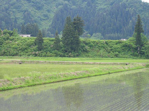 雨上がりの静かな朝です@魚沼産コシヒカリの田んぼ