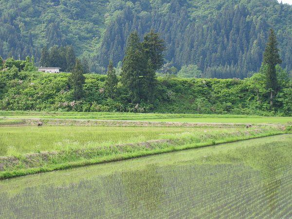 今朝の魚沼産コシヒカリの田んぼは涼しいです