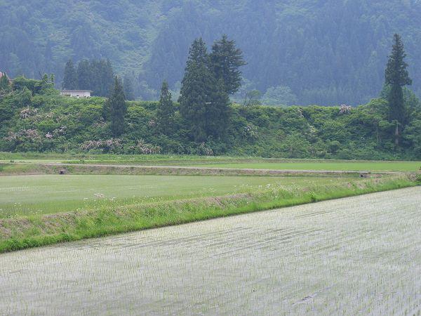 魚沼産コシヒカリの田んぼはくもりでちょっと蒸し暑いです
