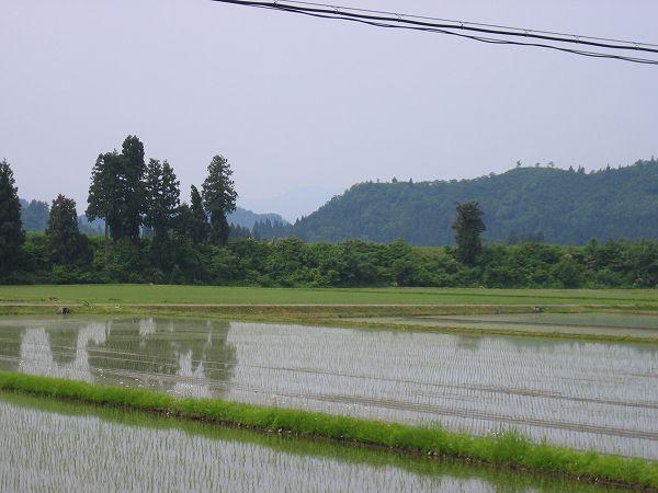 今朝の魚沼産コシヒカリの田んぼはくもりで涼しいです