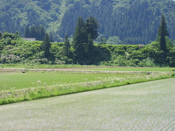 魚沼産コシヒカリの田んぼは爽やかな初夏の一日です