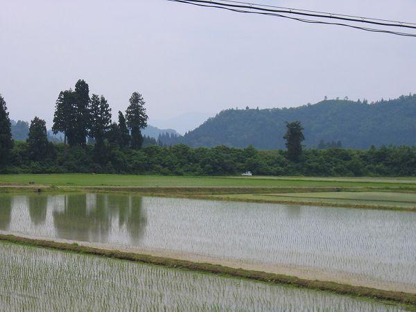魚沼産コシヒカリの田んぼは暑くなりました