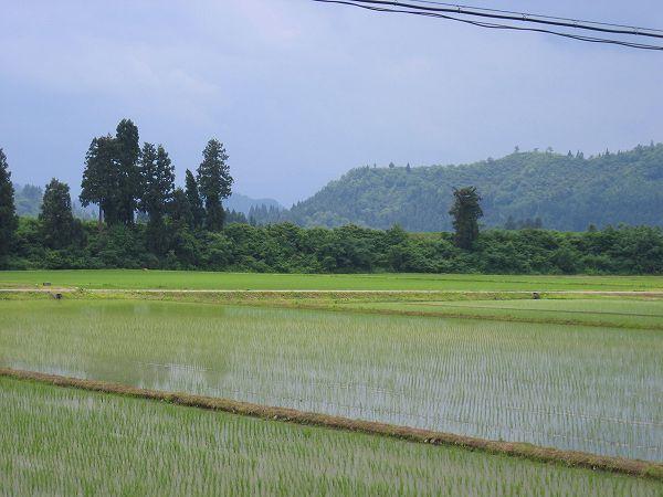 今日の魚沼産コシヒカリの田んぼはくもりでやや蒸し暑く感じます