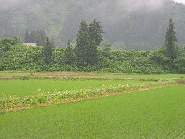 今朝は雨が強く降っています@魚沼産コシヒカリの田んぼ