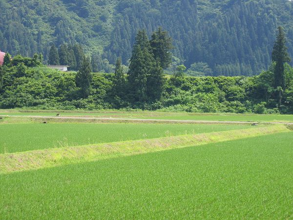 いよいよ夏本番@魚沼産コシヒカリの田んぼ