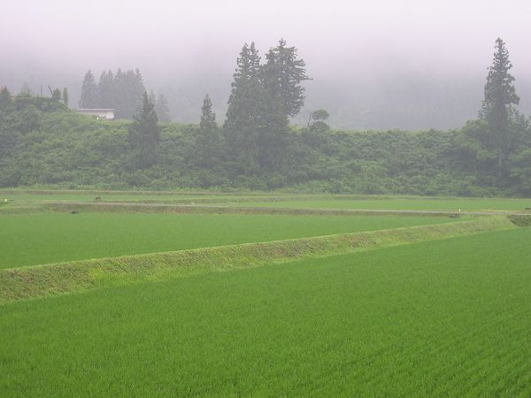 魚沼産コシヒカリの田んぼは一日中雨・・・午後からは寒く感じました