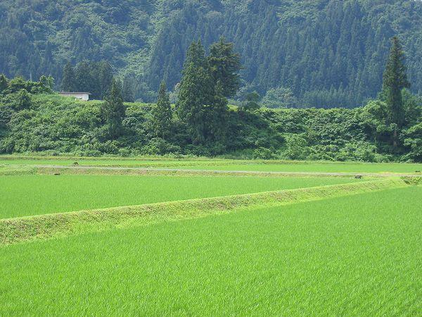 青空が見えてきています@魚沼産コシヒカリの田んぼ