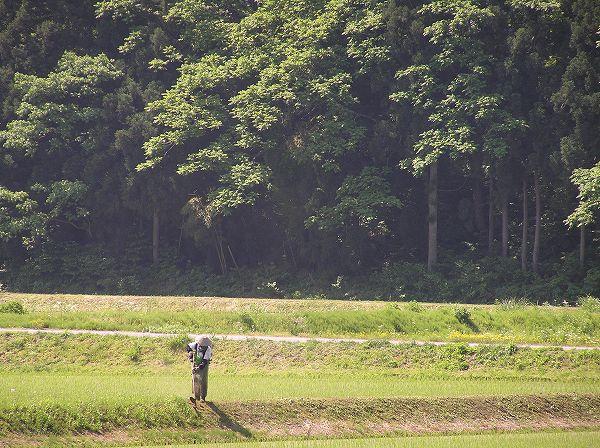 田んぼでは草刈り作業が行われています