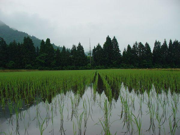 順調に育っている魚沼産コシヒカリの苗