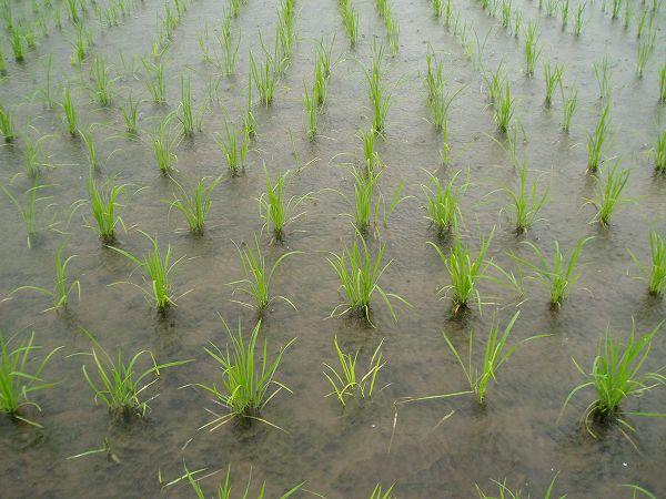 雨の中の魚沼産コシヒカリの苗